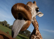 Main_thumb_giraffe-main_1407192a
