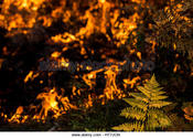 Main thumb a green fern amidst the orange flames of a fire ht7jcn